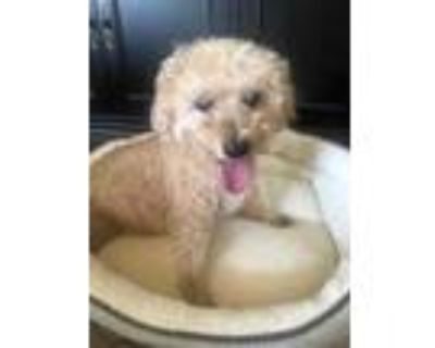 Adopt Frodo a Red/Golden/Orange/Chestnut Poodle (Miniature) / Mixed dog in