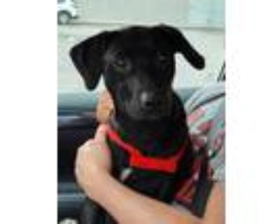 Adopt LINDY a Black - with White Labrador Retriever / Mixed dog in Louisville