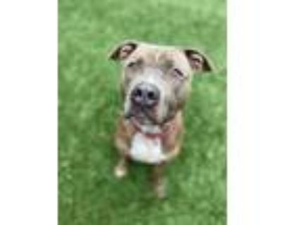 Adopt Atlas a American Pit Bull Terrier / Mixed dog in Portsmouth, VA (27277103)