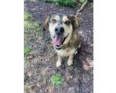 Adopt Chico a Brown/Chocolate Hound (Unknown Type) / Mixed dog in Newport News