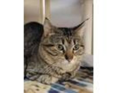 Adopt Timon a Brown or Chocolate Domestic Shorthair / Domestic Shorthair / Mixed