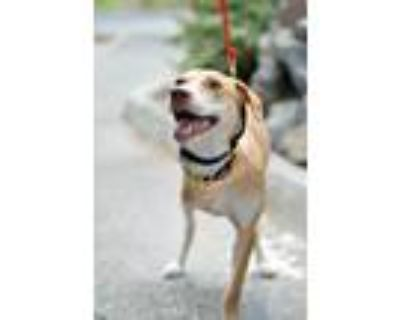Adopt Tory a Thai Ridgeback, Yellow Labrador Retriever