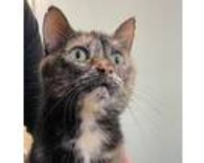 Adopt Puzzle a Domestic Short Hair
