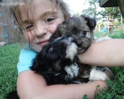 Designer Breed Small Puppy for Sale - Havapookie