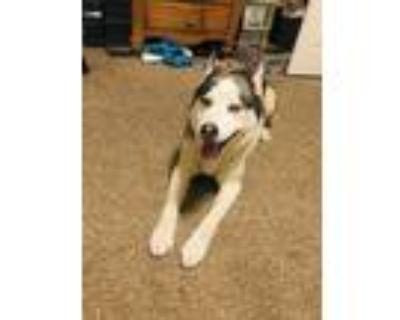 Adopt Melo a Gray/Blue/Silver/Salt & Pepper Husky / Mixed dog in Colorado