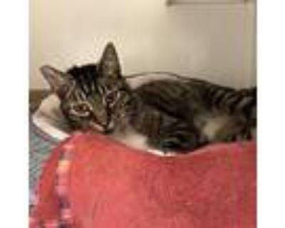 Irwin, Domestic Shorthair For Adoption In Rohnert Park, California