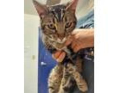 Adopt a Brown Tabby Domestic Shorthair / Mixed (short coat) cat in Bakersfield