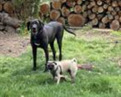 Adopt Buster a Black Great Dane / Labrador Retriever / Mixed dog in Fairfax