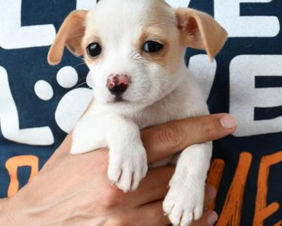 Ruby 11200 - Mixed Breed (Small) - Puppy Female