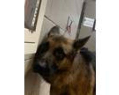 Adopt Shrek* a Black German Shepherd Dog / Mixed dog in Anderson, SC (32062745)