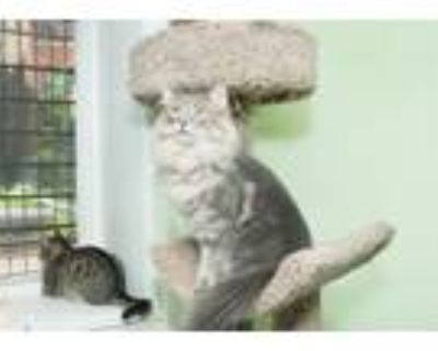 Adopt Charm a Gray, Blue or Silver Tabby Maine Coon (long coat) cat in Chicago