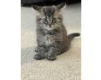 Adopt Scout a Gray or Blue Domestic Longhair / Mixed (medium coat) cat in