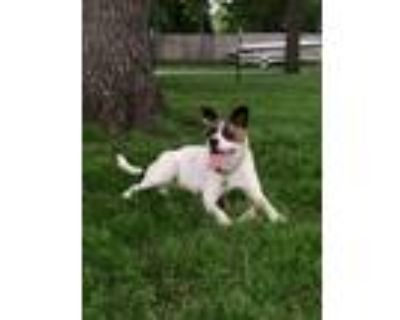 Adopt LIBBY a White - with Black Pit Bull Terrier / Labrador Retriever / Mixed