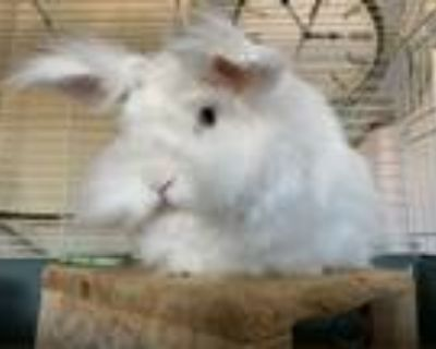 Adopt Adelina a Lionhead, Angora Rabbit