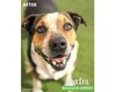 Adopt BAXTER a Tricolor (Tan/Brown & Black & White) Mastiff / Mixed dog in San