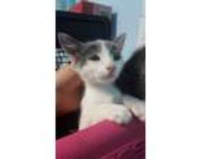 Adopt *BLAKE a Gray or Blue (Mostly) Domestic Shorthair / Mixed (short coat) cat