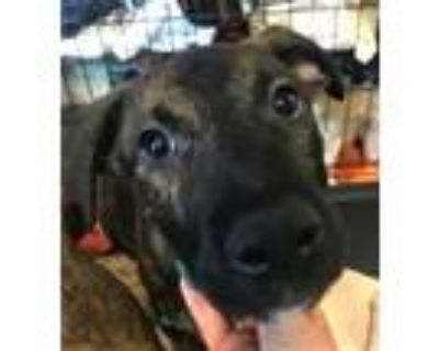 Adopt MALBEC a Pit Bull Terrier