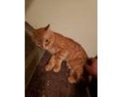 Adopt Felix a Tiger Striped Domestic Shorthair / Mixed (short coat) cat in