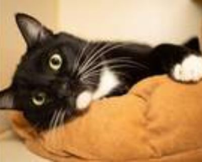 Adopt Porgy a Black & White or Tuxedo Domestic Shorthair (short coat) cat in Los