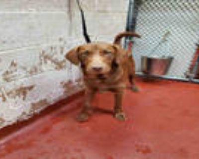 Adopt IRIS a Brown/Chocolate Labrador Retriever / Mixed dog in Atlanta