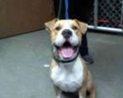 Adopt BARACK a Pit Bull Terrier, Mixed Breed