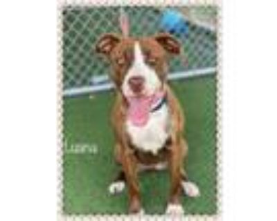 Adopt LUANA a Brindle - with White Plott Hound / Mixed dog in Marietta
