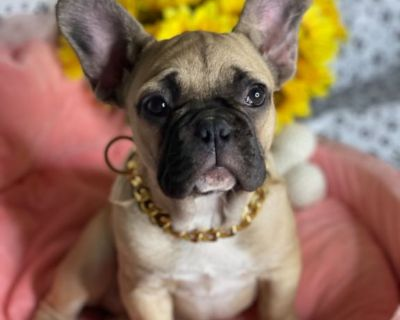 Akc French bulldog fluffy and Isabella  carrier