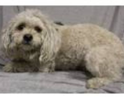 Adopt A552899 a Poodle, Mixed Breed