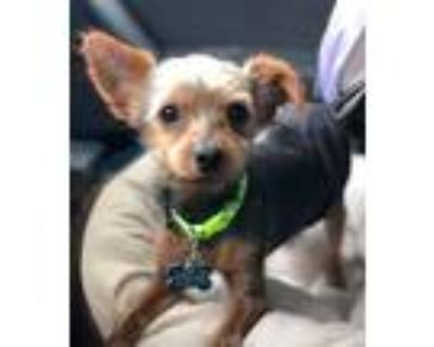 Adopt Tundra a Yorkshire Terrier