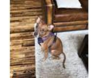 Adopt Ruby a Tan/Yellow/Fawn American Pit Bull Terrier / Boxer / Mixed dog in