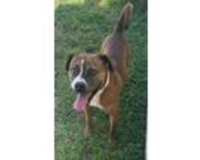 Adopt Tyge a Pit Bull Terrier, Hound