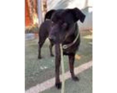Adopt Inka a Black Labrador Retriever / Mixed dog in Apple Valley, CA (32364892)