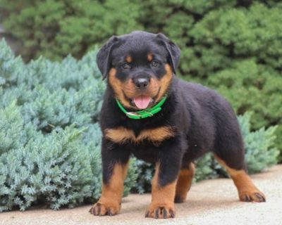engaging Rottweiler puppies ready