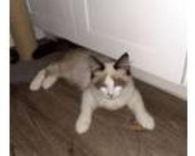 Adopt Chamonix a Siamese, Ragdoll