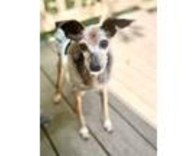 Adopt Jazzy a Italian Greyhound