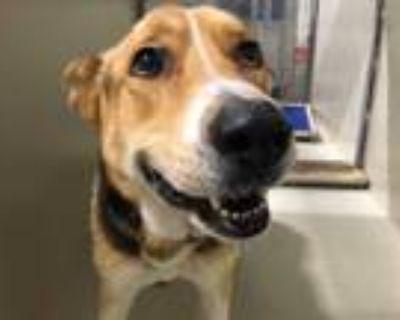 Adopt a Tricolor (Tan/Brown & Black & White) German Shepherd Dog / Mixed dog in