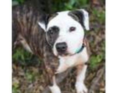 Missy, American Pit Bull Terrier For Adoption In Alpharetta, Georgia