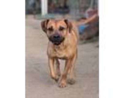 Adopt Missy a Tan/Yellow/Fawn - with White Hound (Unknown Type) / American
