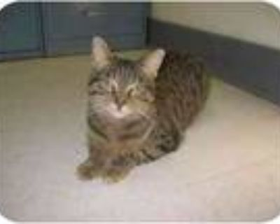 Adopt Serenity a Brown Tabby Domestic Shorthair (short coat) cat in Milwaukee