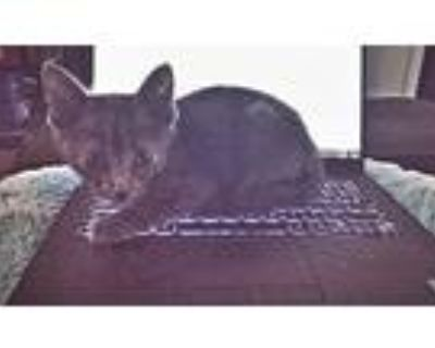Adopt Remus a Gray or Blue American Shorthair / Mixed (short coat) cat in