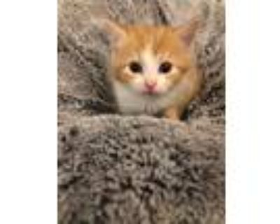 Adopt Queen Anne's Kitten: Charlotte a Domestic Shorthair / Mixed cat in