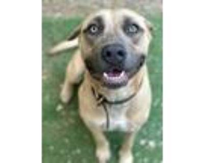 Adopt Brutus a Labrador Retriever, Pit Bull Terrier