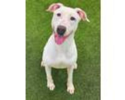 Adopt Carson a Pit Bull Terrier, Mixed Breed