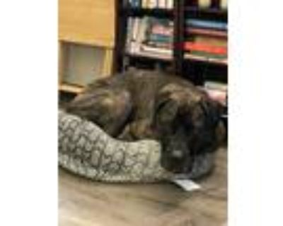 Adopt Jack a Brindle Mastiff / Mixed dog in Coon Rapids, MN (31436541)