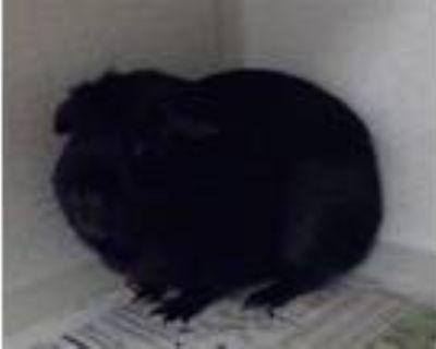 Adopt SKIDDER a Guinea Pig