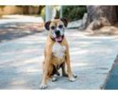 Adopt Rambo a Brown/Chocolate - with Black Boxer / Mixed dog in Woodland Hills