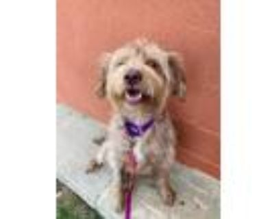 Adopt Isabella a Wirehaired Pointing Griffon, Mixed Breed