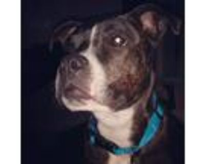 Adopt Harley a Brindle Boxer / American Pit Bull Terrier / Mixed dog in Mesa