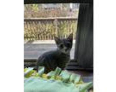 Adopt No Name a Gray, Blue or Silver Tabby Domestic Shorthair / Mixed (short