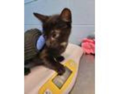 Adopt Caramelo a All Black Domestic Shorthair / Domestic Shorthair / Mixed cat